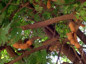 Tamarinde am Baum - Tamarind on the tree