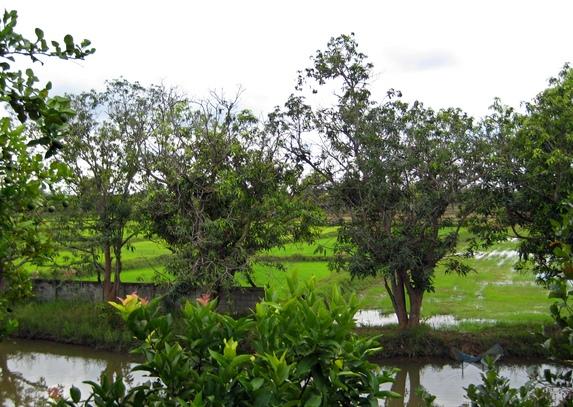 Tamarindenbäume im Garten des Onkels meiner Ex-Frau - Tamarind tress in the garden of my ex-wifes uncle